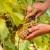 Voda obogaćena ozonom u zaštiti vinove loze