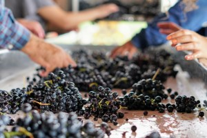 Vlada 13,18 milijuna neutrošenih kuna preraspodijelila za pomoć sektoru vina