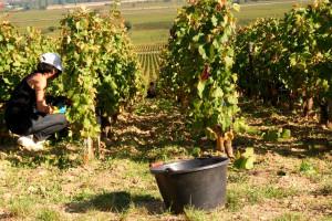 Velike vrućine negdje uništavaju vinogradarstvo, a negdje ga pokreću