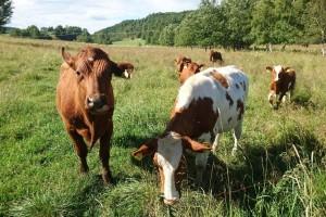 Nova ulaganja u tovno govedarstvo - potpisani ugovori vrijedni 12,9 milijuna kuna