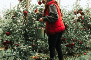 Koliki treba biti razmak među voćem u amaterskim nasadima?