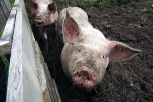 Zaraza u susjedstvu: Afrička svinjska kuga ponovno potvrđena u Srbiji