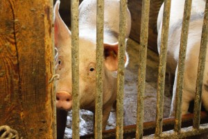 Vučković: Naši proizvođači trpe velike gubitke zbog smanjenja izvoza svinjetine iz EU