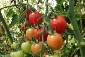 Mladi poljoprivrednici razvili cirkularni sistem: Zajedno uzgajaju povrće i kozice