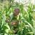 Autohtone pasmine svinja, stare sorte kukuruza i eko lijeska recept su za uspjeh Maria Juretića