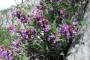 Kadulja - kraljica ljekovitog bilja