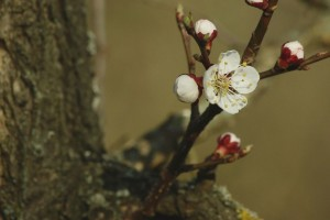 Koji faktori utiču na prevremeno sušenje stabla kajsije?