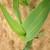 Prepoznajte simptome nedostatka fosfora i cinka na kukuruzu i na vrijeme krenite s prihranom!