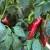 Kalkulacija troškova proizvodnje paprike 2020. godine