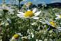 Ljekovito bilje na 500 ha