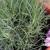 Zaboravljeni mirisni karanfili - odlični za dekoraciju dvorišta