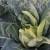 Proizvodnja karfiola sve privlačnija povrtarima, uprkos variranju cene