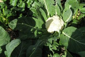 Kako proizvesti rasad karfiola za kasnu sadnju?