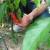 Najljuća papričica na planeti raste u Ćupriji