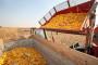 Kasni berba kukuruza u Rasinskom okrugu