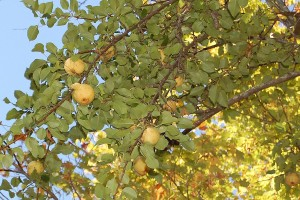 Kiferov sjemenjak - stara sorta ponovo u modi