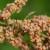 Kinoa - biljka koja čisti organizam od otrova