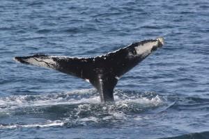 Vraćaju se kitolovu pod pritiskom ribara?