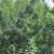 Aktuelna plamenjača šljive - kako zaštititi zasade?