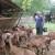 Željko Kleić: Alpino koze su odlične iako ih, da bi se dale musti, često moramo podmititi