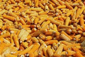 Kukuruz najtrgovanija žitarica na Produktnoj berzi