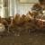 Kokoške se odbranile od lisice - iskljucale je do smrti