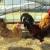 Autohtone pasmine peradi - kokoš hrvatica i zagorski puran, kakvo je stanje njihova uzgoja?