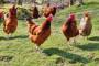 Prstenovanje prvih kokoši hrvatica u Bjelovarsko-bilogorskoj županiji