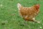 Njemačka: Otkrivena otrovna stočna hrana