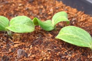 Kokosova vlakna zadržavaju vlagu i hrane biljku - odlična za uzgoj povrća i voća
