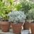 Posadite biljke koje će otjerati komarce iz vrta i s balkona