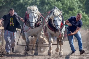 Rumska Štraparijada - gde se ogleda sva snaga konja hladnokrvnjaka