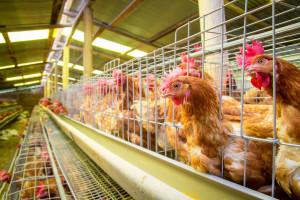 Odabir rase osigurava i do 300 jaja po nesilici u jednoj godini