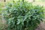 Kopriva - respektabilna u vrtu i na pladnju