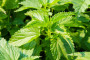 Kako pripremiti prirodne biostimulatore rasta