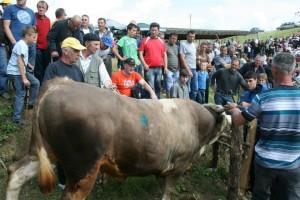 Druga Cazinska korida okupit će 30 bikova
