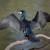 Zakon o lovstvu upućen u Sabor, na popis divljači dodan i veliki vranac