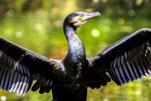 Ribolovci ubijaju kormorane, a pravi krivac - čovjek?