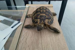 Odbjegla kornjača digla buru na društvenim mrežama i vratila se doma!