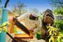 Šest košnica pretvorio u 200 pčelinjih društava