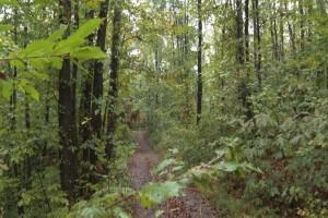 Kestenova šuma: Kako najefikasnije suzbiti osu šiškaricu?