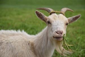 Koze vole raznovrsnu, svježu i kvalitetnu hranu