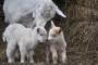 Što je važno znati o bremenitosti i jarenju koza?