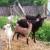 Imunitet životinja pada kad stoka prelazi sa suhe hrane na pašu