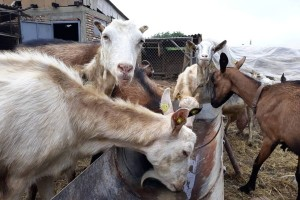 Koze ga odvele iz grada u selo