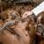 Kako najbolje i najprofitabilnije hraniti mlečne koze?
