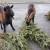 Prikupljena drvca cijeli mjesec griju 2.470 bečkih domaćinstava, ali i hrane autohtonu pasminu koza