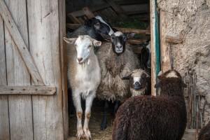Korjenasto-krtolasta hranjiva odlična za ovce i koze
