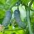 Gorke plodove krastavaca uzrokuju dugotrajna suša i visoke temperature - što možete učiniti?