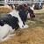 Nakon telenja može da se javi poremećaj metabolizma krave - delujte preventivno